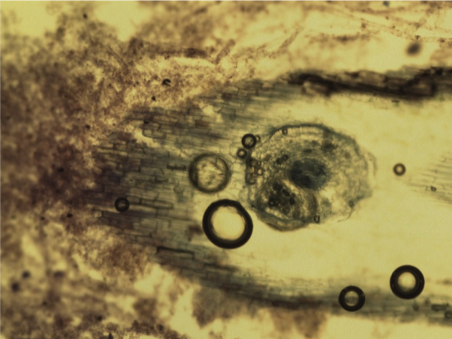 Root cross section with biofilm